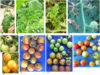 To Brfv Tomato Symptoms01